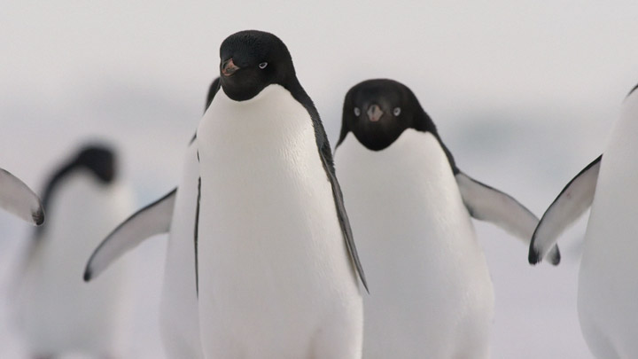 teaser image - Penguins IMAX® Trailer